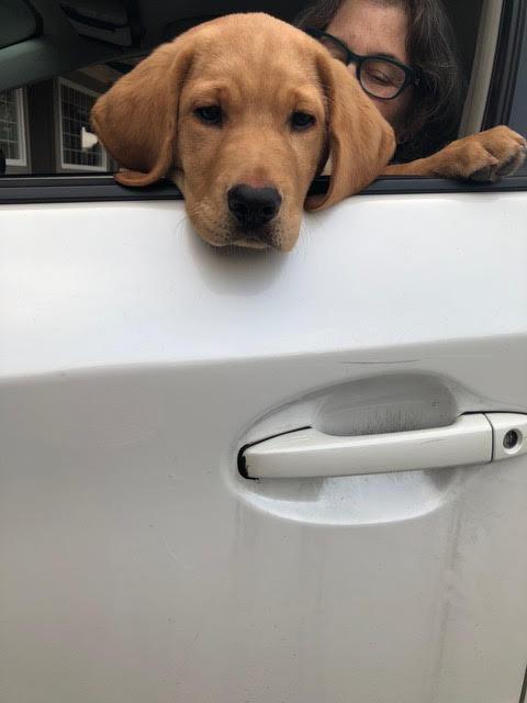Little puppy Nouveau sticks her head out a car window.