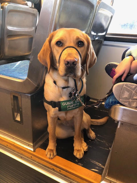 Nouveau sits proudly on a train. She is wearing her puppy coat and gentle leader.